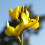 Binsen Ginster Bluete gelb Spartium junceum 06