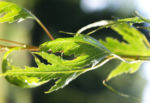 Birke Stamm weiss Blatt gruen Betula platyphylla 02