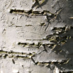 Birke Stamm weiss Blatt gruen Betula platyphylla 03