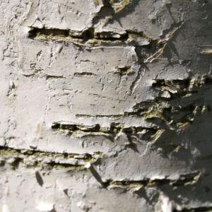 Bild: Birke Stamm weiss Blatt gruen Betula platyphylla