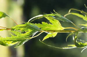 Birke Stamm weiss Blatt gruen Betula platyphylla 04