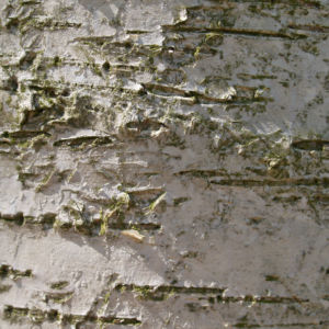 Birke Stamm weiss Blatt gruen Betula platyphylla 05