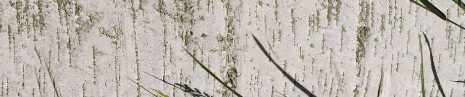 japanische-weisse-birke-rinde-weiss-blatt-gruen-betula-platyphylla