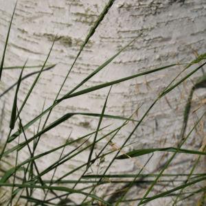 Birke Stamm weiss Blatt gruen Betula platyphylla 08
