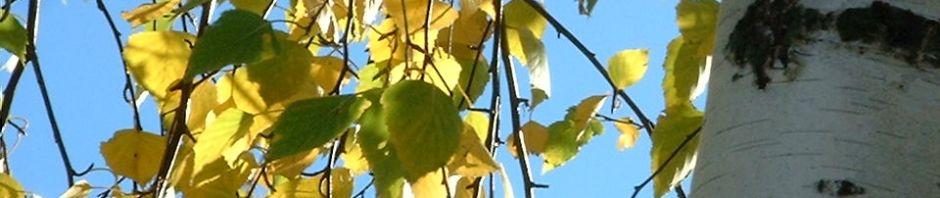 Anklicken um das ganze Bild zu sehen Birke Blatt grün Rinde weiß Betula