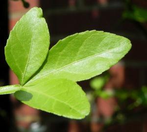 Bitterorange Blatt gruen Citrus trifoliata 01