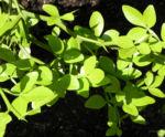Bitterorange Blatt gruen Citrus trifoliata 02