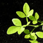 Bitterorange Blatt gruen Citrus trifoliata 03