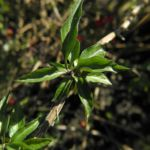 Bittersuesser Nachtschatten Blatt gruen Solanum dulcamara 01