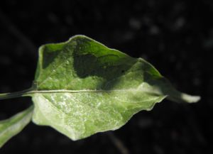 Bittersuesser Nachtschatten Blatt gruen Solanum dulcamara 02