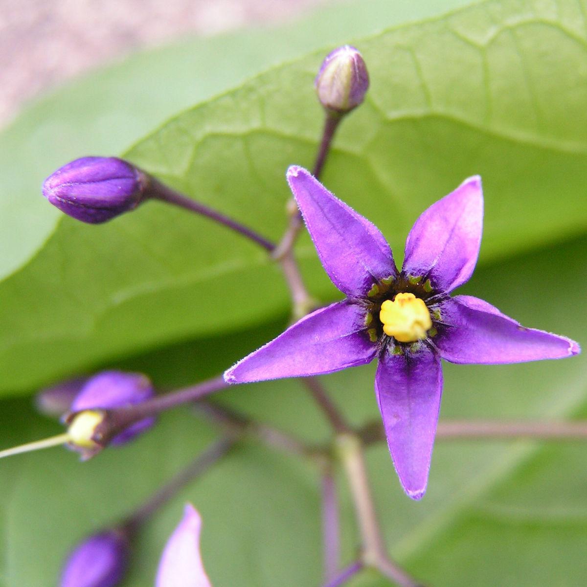 Bittersuesser Nachtschatten Bluete lila Solanum dulcamara