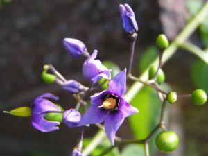 Bittersuesser Nachtschatten Bluete lila Solanum dulcamara 05