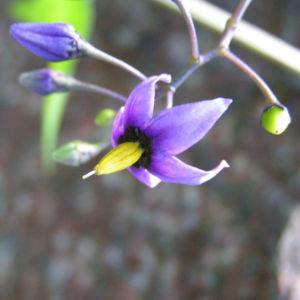 Bittersuesser Nachtschatten Bluete lila Solanum dulcamara 07
