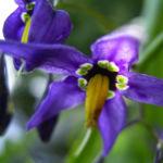 Bittersuesser Nachtschatten Bluete Solanum dulcamara 03