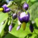 Zurück zum kompletten Bilderset Bittersüßer Nachtschatten Blüte lila Solanum dulcamara