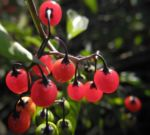 Bittersuesser Nachtschatten Frucht rot Solanum dulcamara 01