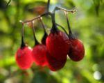 Bittersuesser Nachtschatten Frucht rot Solanum dulcamara 03