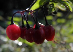 Bild: Bittersuesser Nachtschatten Frucht rot Solanum dulcamara