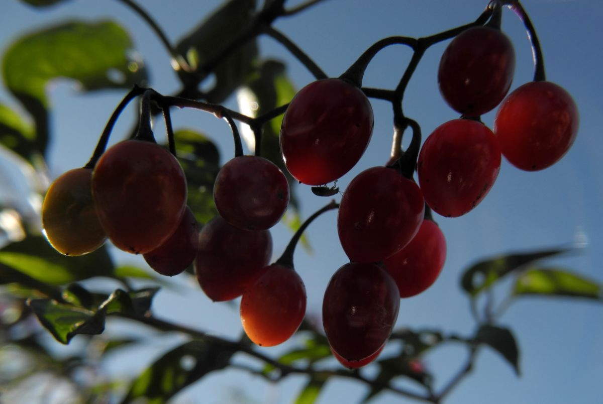 Bittersuesser Nachtschatten Frucht rot Solanum dulcamara