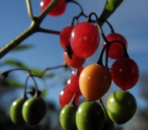 Bittersuesser Nachtschatten Frucht rot Solanum dulcamara 11