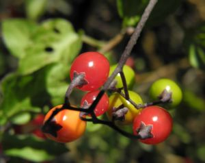 Bittersuesser Nachtschatten Frucht rot Solanum dulcamara 15