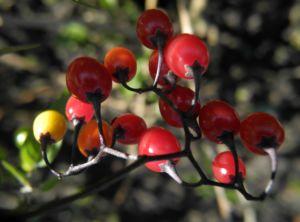 Bittersüßer Nachtschatten Frucht rot Solanum dulcamara