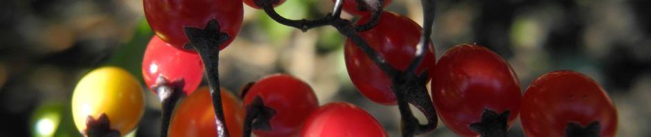 Anklicken um das ganze Bild zu sehen Bittersüßer Nachtschatten Frucht rot Solanum dulcamara