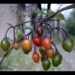 Bittersuesser Nachtschatten Frucht Solanum dulcimara 03