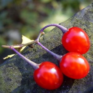 Bittersuesser Nachtschatten rote Beere Solanum dulcamara 21