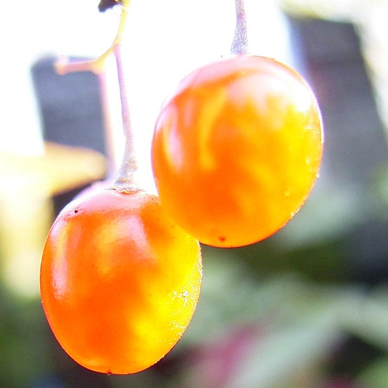 Bittersuesser Nachtschatten rote Beere Solanum dulcamara