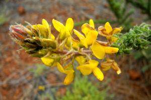 Blaettchenreiche Druesenfrucht Bluete gelb Adenocarpus foliosus 06