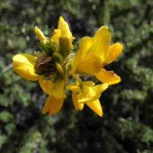 Blaettchenreiche Druesenfrucht Bluete gelb Adenocarpus foliosus 14