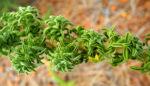 Blaettchenreiche Druesenfrucht Staengel Blatt gruen Adenocarpus foliosus 05