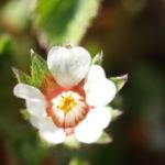 Bild: Blaschkenische Potentilla Blüte weiß Potentilla blaschkeana