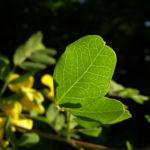 Blasenstrauch Colutea arborescens 01