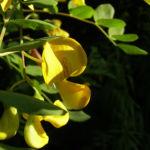 Blasenstrauch Colutea arborescens 02