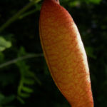 Blasenstrauch Colutea arborescens 06