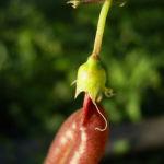 Blasenstrauch Colutea arborescens 07