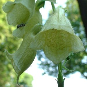 Blasser Fingerhut Digitalis grandiflora 02