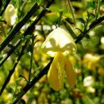 Blattstielloser Zwergginster Bluete gelb Chamaeccythisus sessilifolius 03