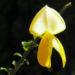 Zurück zum kompletten Bilderset Blattstielloser Zwergginster Blüte gelb Chamaecythisus sessilifolius