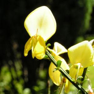 Blattstielloser Zwergginster Bluete gelb Chamaeccythisus sessilifolius 05