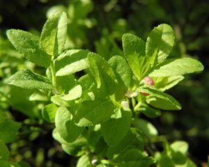 Blaubeere Bluete pink Vaccinium myrtillus 01