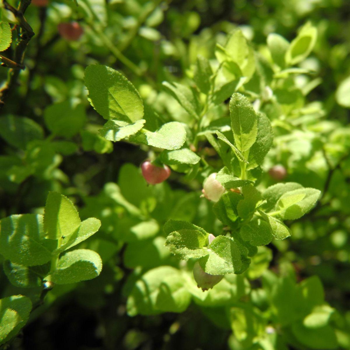 Blaubeere Bluete pink Vaccinium myrtillus