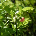 Blaubeere Bluete pink Vaccinium myrtillus 04