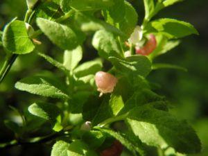 Blaubeere Bluete pink Vaccinium myrtillus 06
