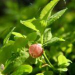 Blaubeere Bluete pink Vaccinium myrtillus 08