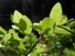 Zurück zum kompletten Bilderset Blaubeere Blüte pink Vaccinium myrtillus