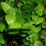 Blaubeere Vaccinium myrtillus 01