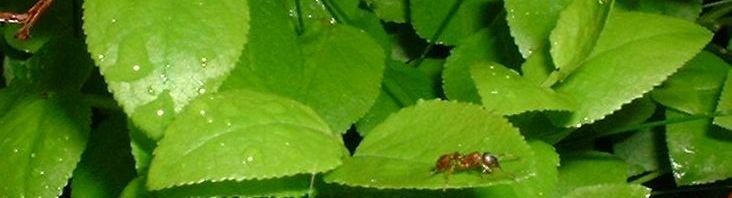 Anklicken um das ganze Bild zu sehen Blaubeere Blatt grün Vaccinium myrtillus